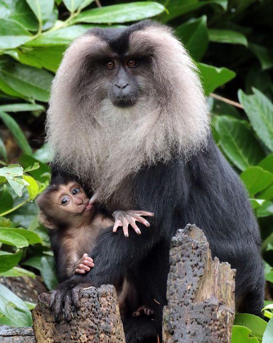 El sileno, macaco de cola de león, mono león o mono barbudo (Macaca silenus) Tras aproximadamente seis meses de gestación, las hembras paren una sola cría que cuidan durante un año. Estas alcanzan la madurez sexual a la edad de 4 años si son hembras o 6 si son machos. Viven unos 20 años en libertad, aunque en cautividad pueden superar la treintena.