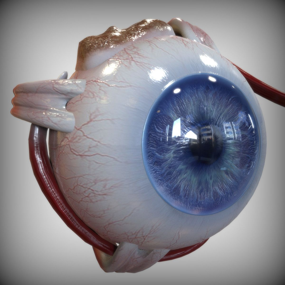 eye anatomy 3d model | 3d Anatomy | Pinterest | Eye anatomy, Anatomy ...