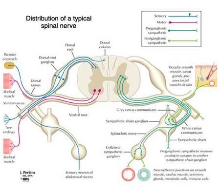 Spinal Nerve Anatomy Google Search Occupational Therapy