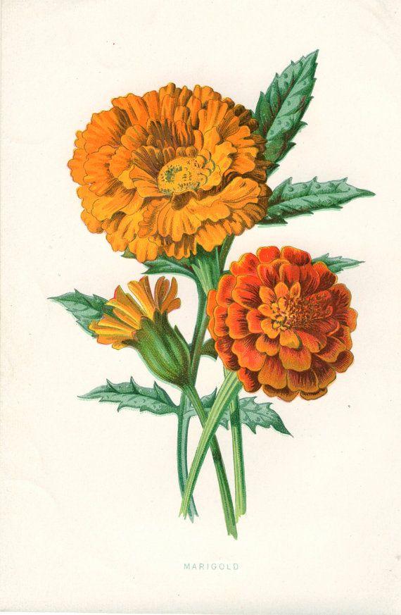 Marigold Vintage Botanical Print Peonyandthistlepaper Fleur A