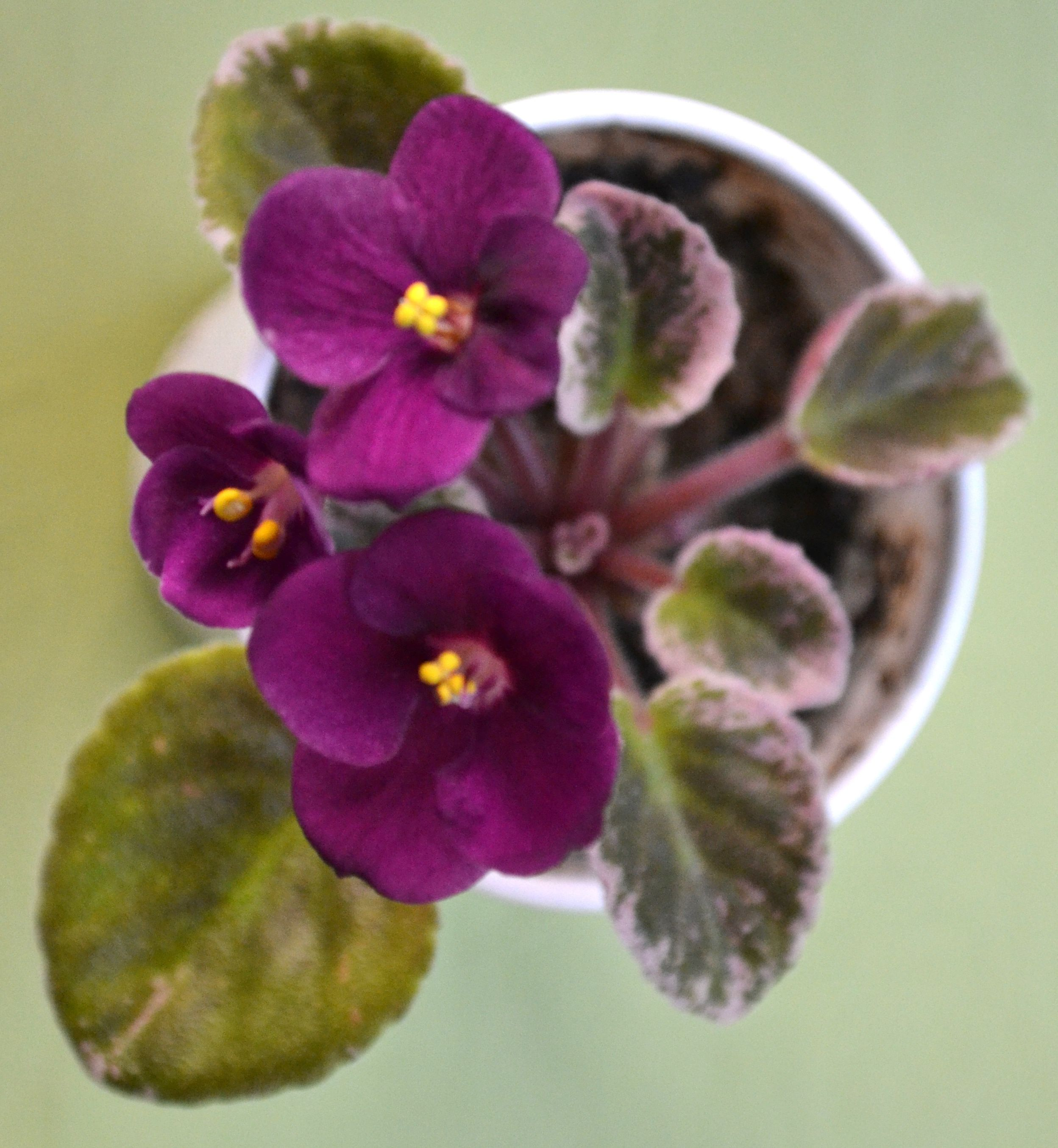 Robs Macho Devil: This is a Semi miniature known as robs macho devil. The flowers are dark red in color and pansy shaped. The flowers are semi-double in type.  The leaves are medium-dark green and white in color with variegation. The plant was hybridized by R. Robinson in 1990.