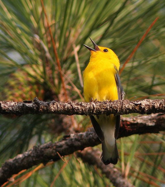 Prothonotary Warbler Male by BoggyBayou, via Flickr