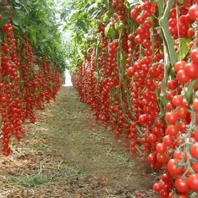 Tomato Climbing Bonsai Vegetable Plants 100 Seeds 640 x 480
