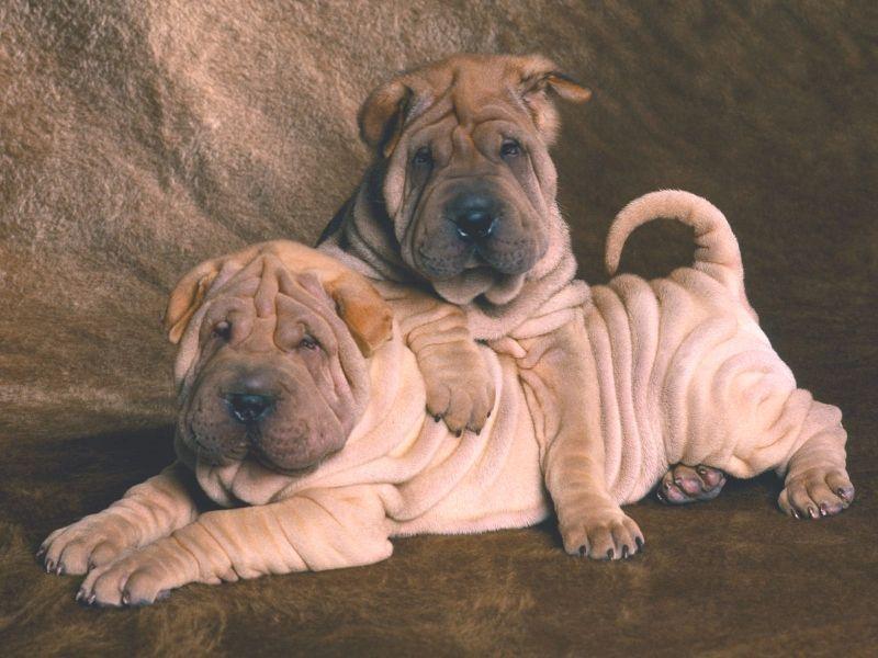 Beautiful Shar Pei Chubby Adorable Dog - ec30ee6724f0c17373dcc11e13e2eca8  Pic_23196  .jpg