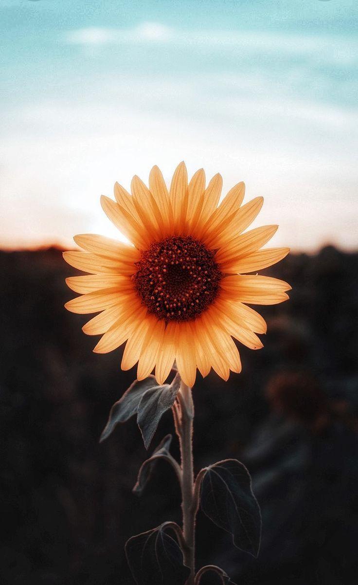Blog With Images Sunflower Wallpaper Flower Wallpaper Wallpapers Vintage