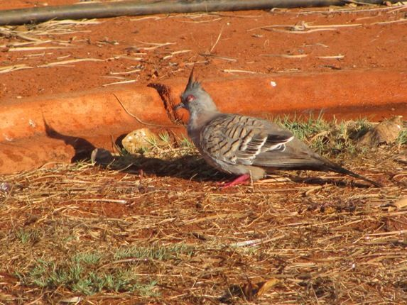 Bathing Crested Pigeons