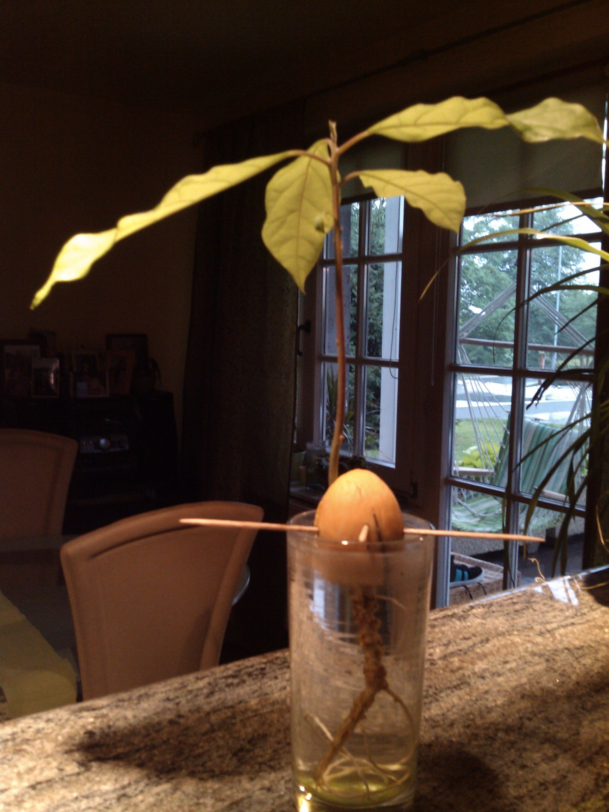 Small avocado tree