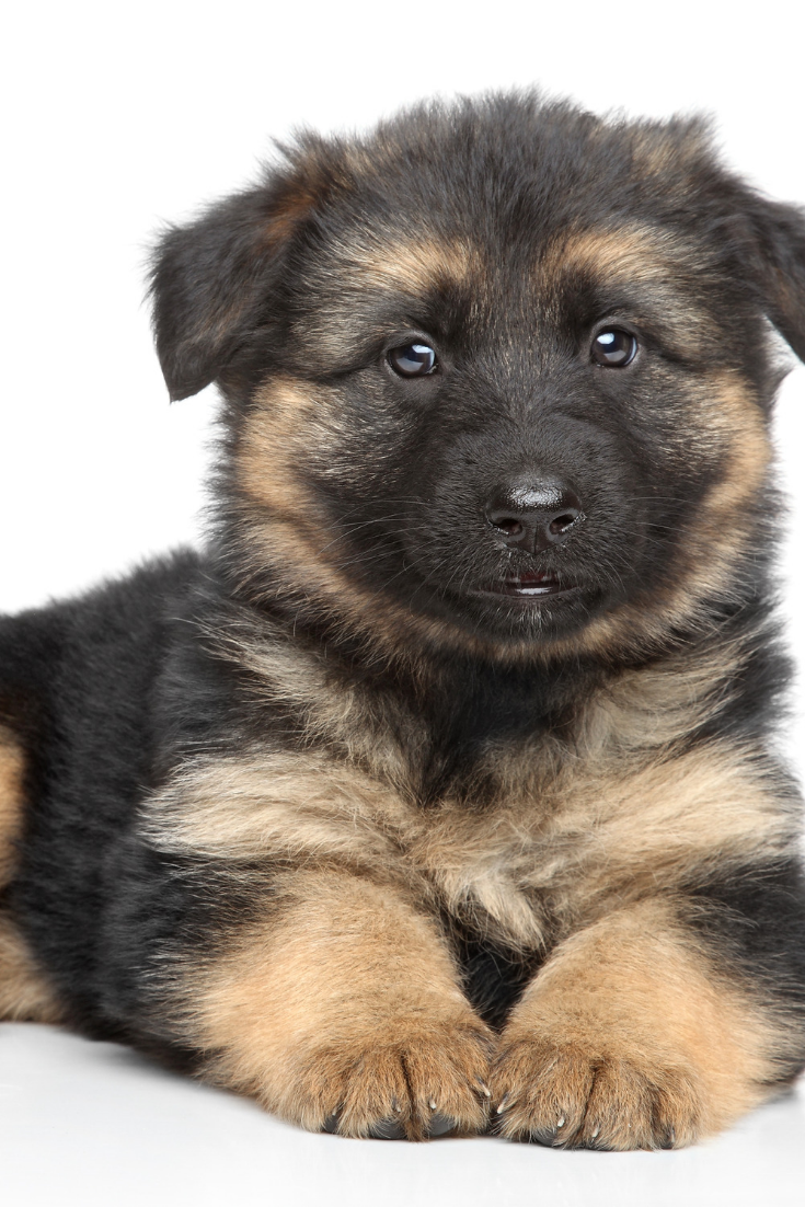 German Shepherd Puppy Posing On A White Background Germanshepherd In 2020 German Shepherd Dogs German Shepherd Puppies German Shepherd