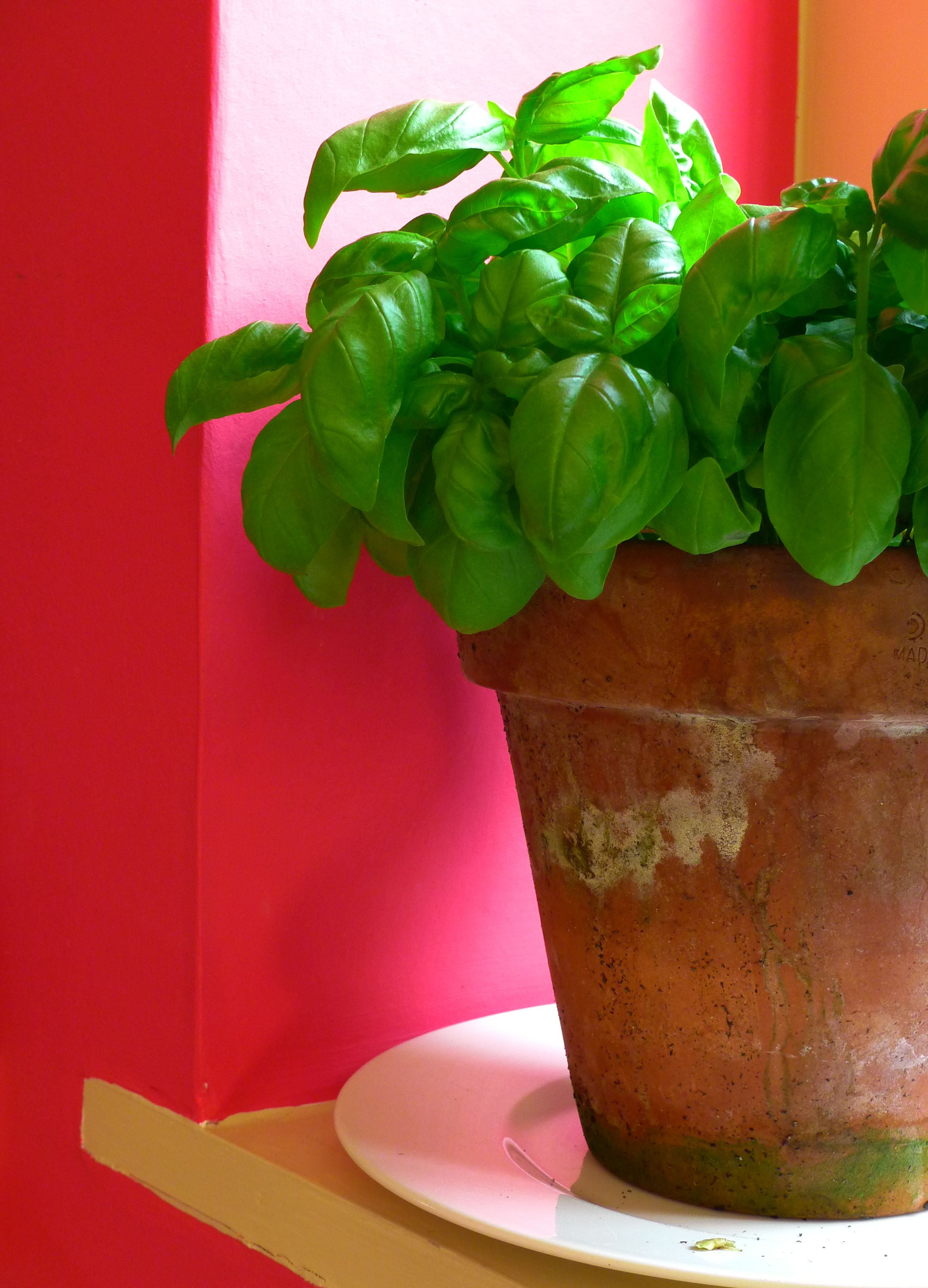 how to grow tomatoes indoors in pots