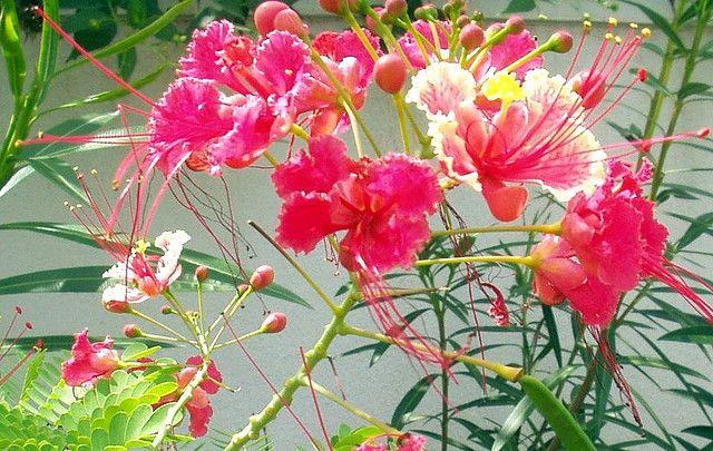 Mayil Kondrai Poinciana Flowers Bloom