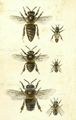 Illustration from The Management of Bees, by Samuel Bagster and William Pickering, London, 1834.