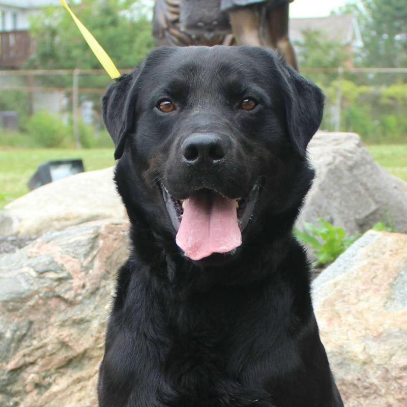 Adopt Vance On Labrador Retriever Black Labrador Retriever