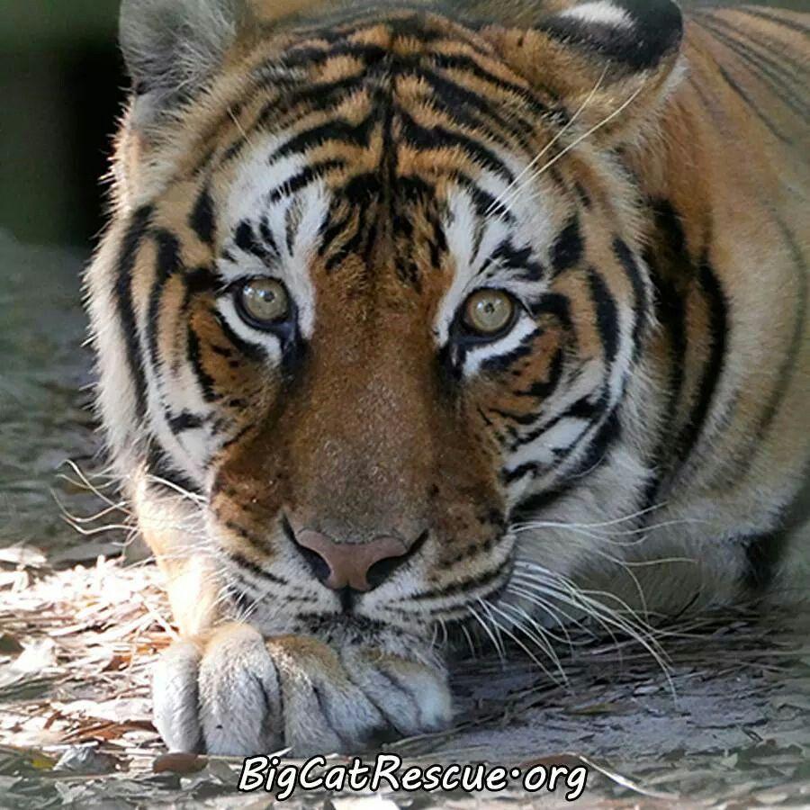 Pin by Diana Hilligoss on Wild Cat Rescue Big cat rescue
