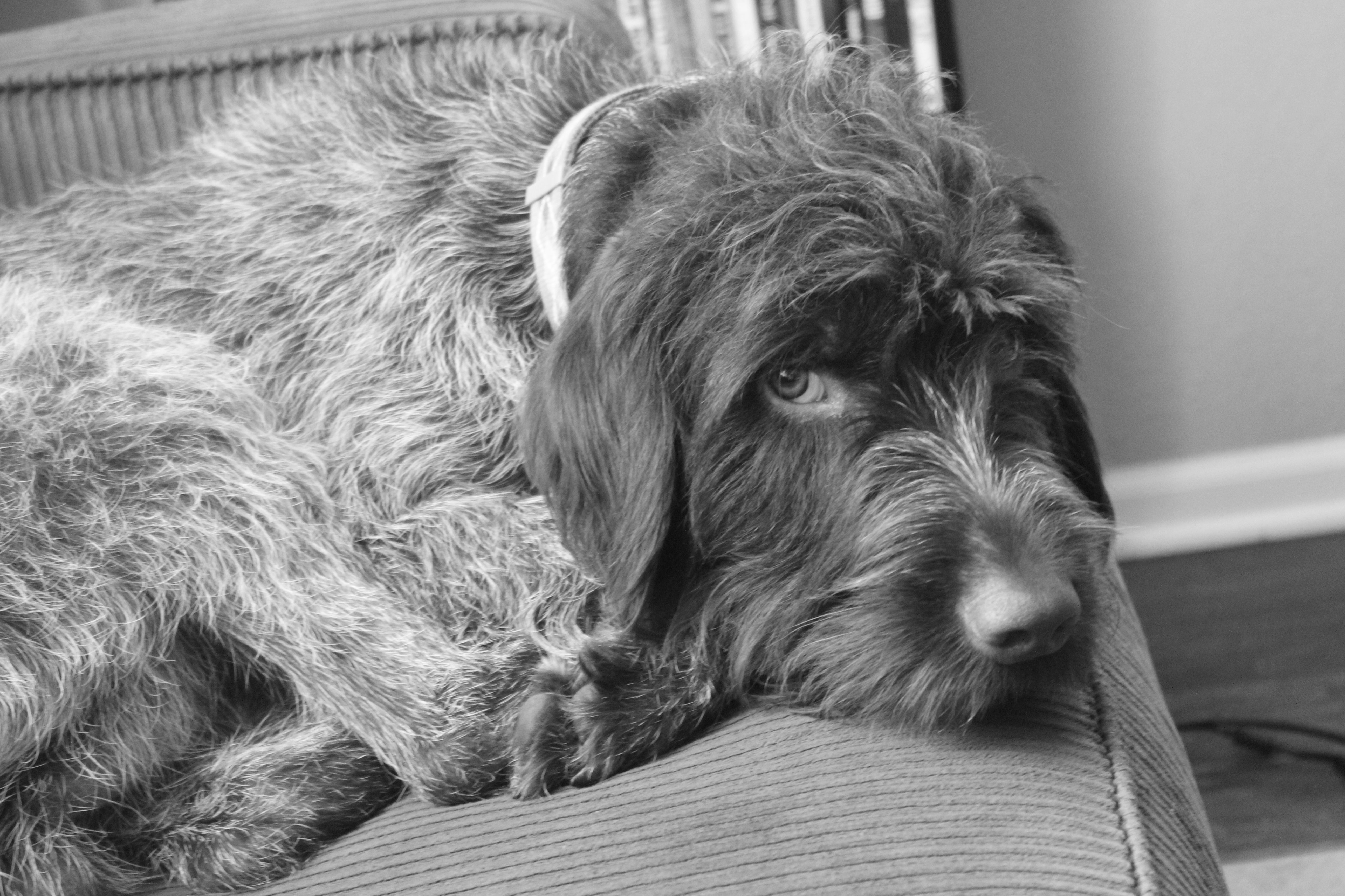 My one and half year old wirehaired pointing griffon, Draper.  He's grown up so fast!