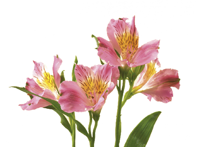 Alstroemeria Peruvian Lily Flower Meaning Symbolism Flower Meanings Alstroemeria Peruvian Lilies