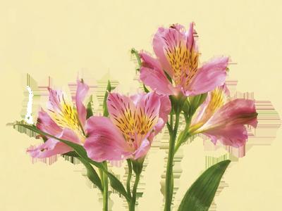 Alstroemeria = friendship Flower meanings, Alstroemeria