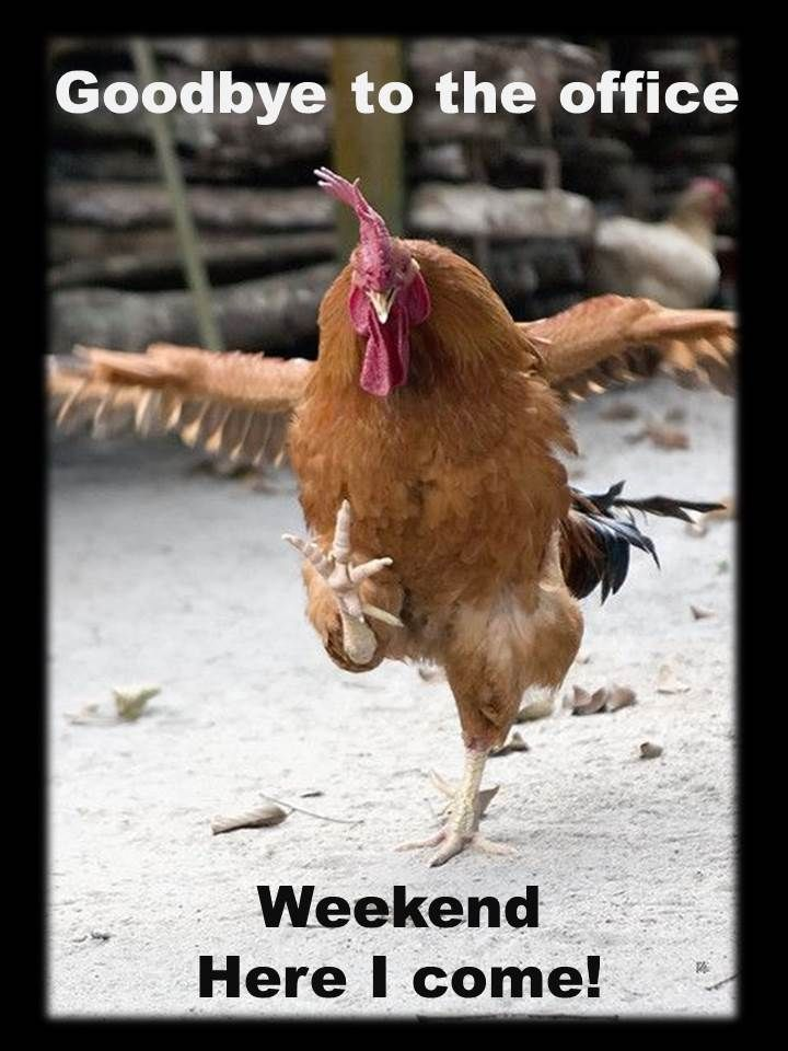 Finally Time To Turn Off The Alarm Rooster Chickens Backyard Pet Birds