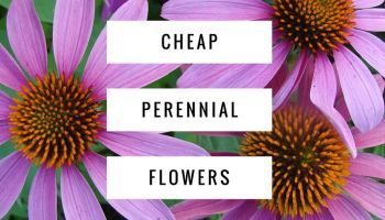 11 Cheap Perennial Flowers for Your Garden is part of Big garden Flowers - Think of perennial flowers as a longterm investment in your garden  They return every year, for 20 years or more, and look lovely in a mixed bed or flower garden