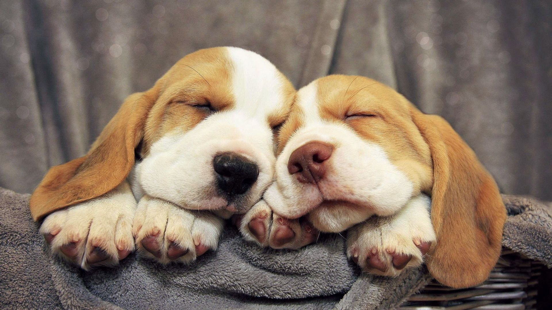 beagles, puppies, dogs - http://www.wallpapers4u.org/beagles-puppies-dogs/