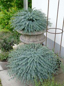 Sedum sieboldii oktoberle oktober fettblatt garten for Kleine mucken in topfpflanzen