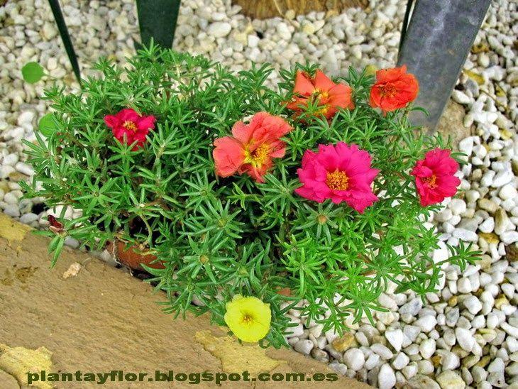 Nombre común: Verdolaga - Flor de seda Este género que comprende ...
