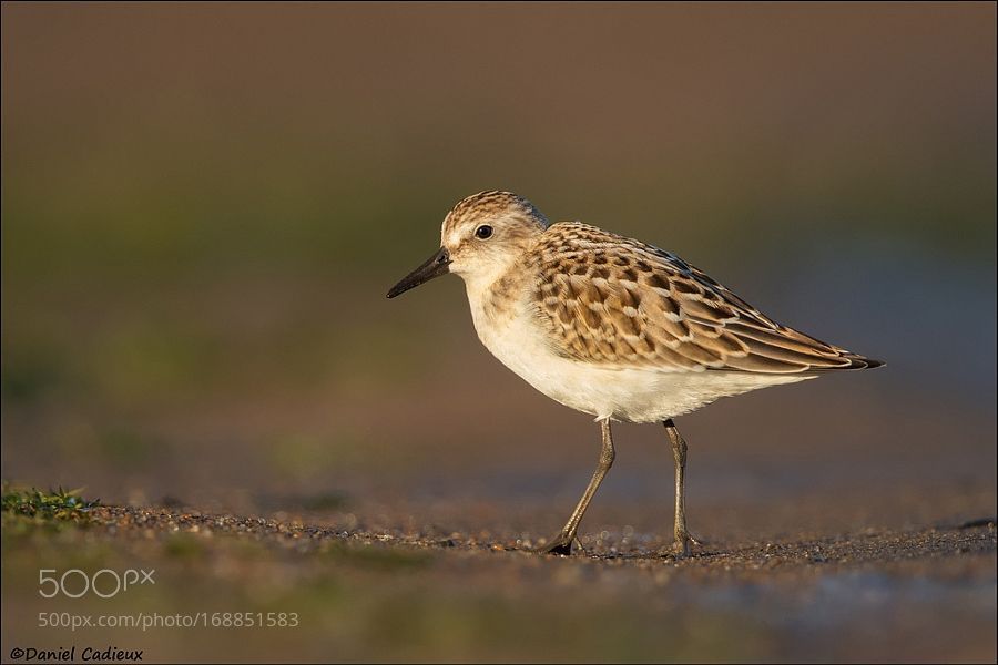 Juvenile Semipalmated Sandpiper by DanielCadieux via http://ift.tt/2bMyODq