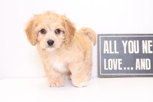 Cavapoo puppy for sale in NAPLES, FL. ADN34154 on