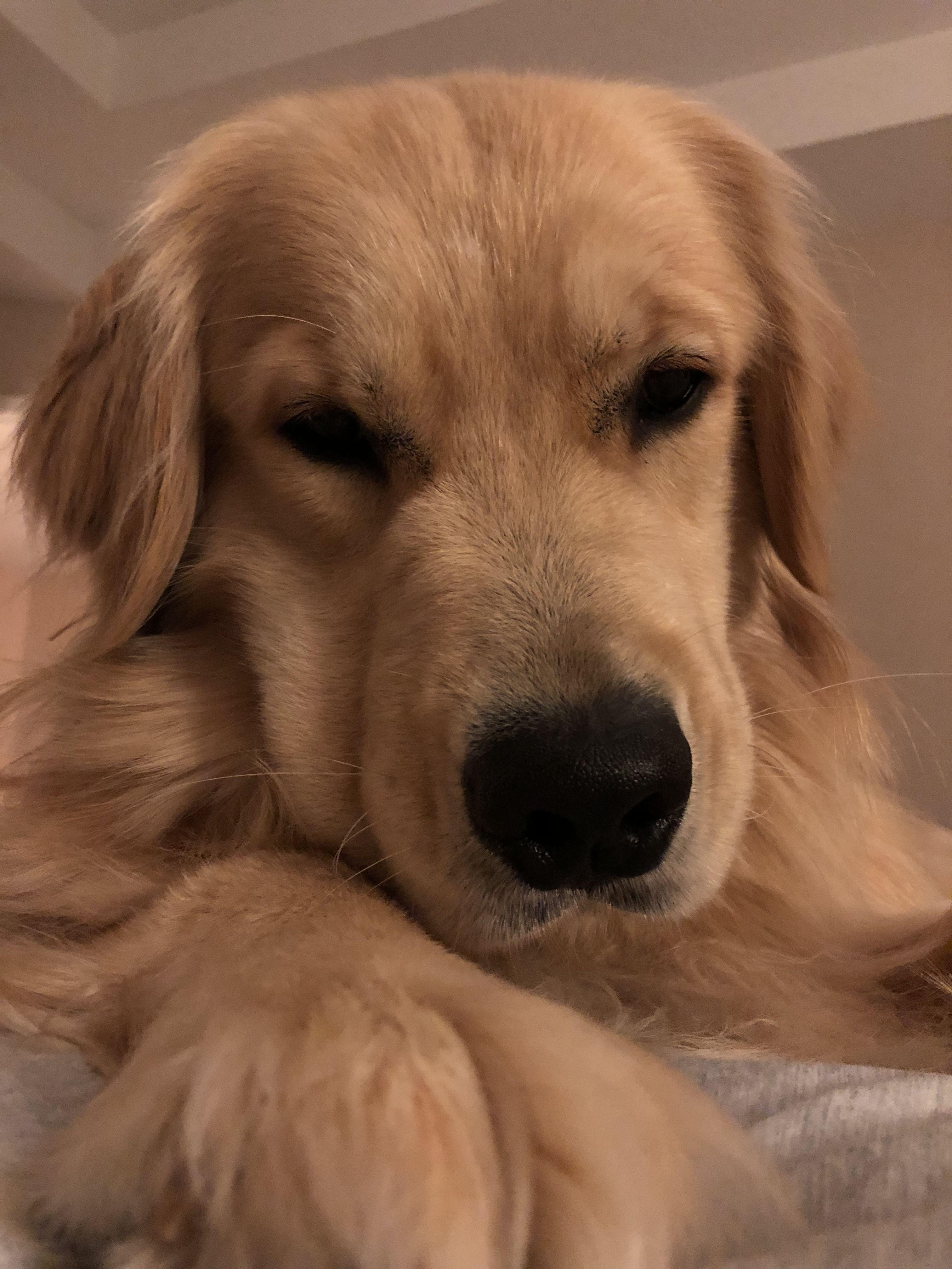 Cooper S Squishy Face Dog Love Golden Retriever Labrador Dogs