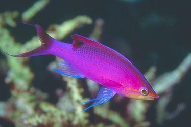 Purple anthias saltwater fish pinterest mousepad for Purple saltwater fish