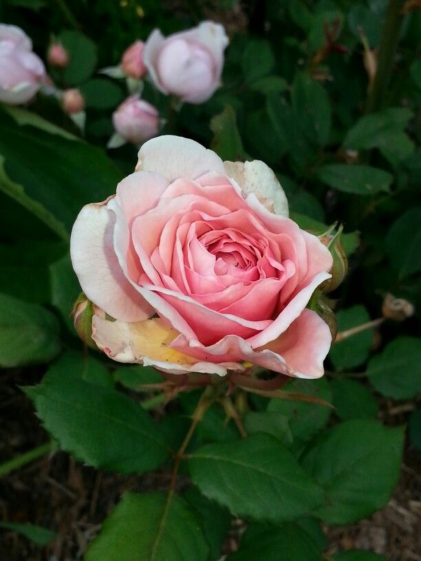 My David Austin English roses are blooming!  See?