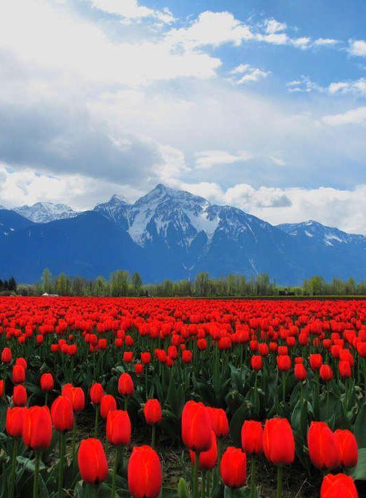 Sea of Red Tulips seattle Roozengaarde has amazing tulip fields