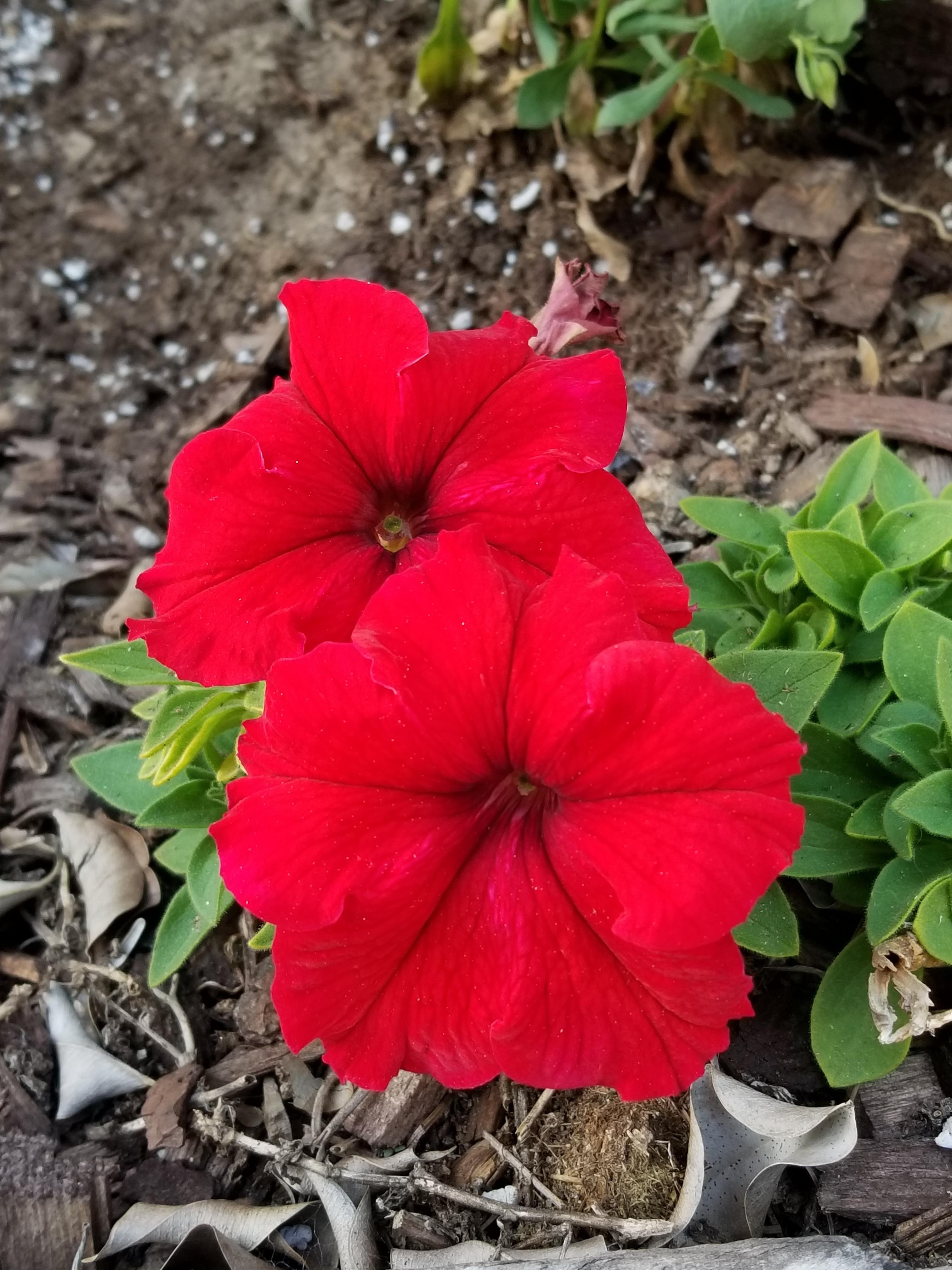 Super red petunias gardening garden DIY home flowers