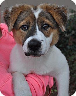 Atlanta Ga Collie Golden Retriever Mix Meet Gracie A Puppy For Adoption Puppy Adoption Retriever Mix Pet Adoption