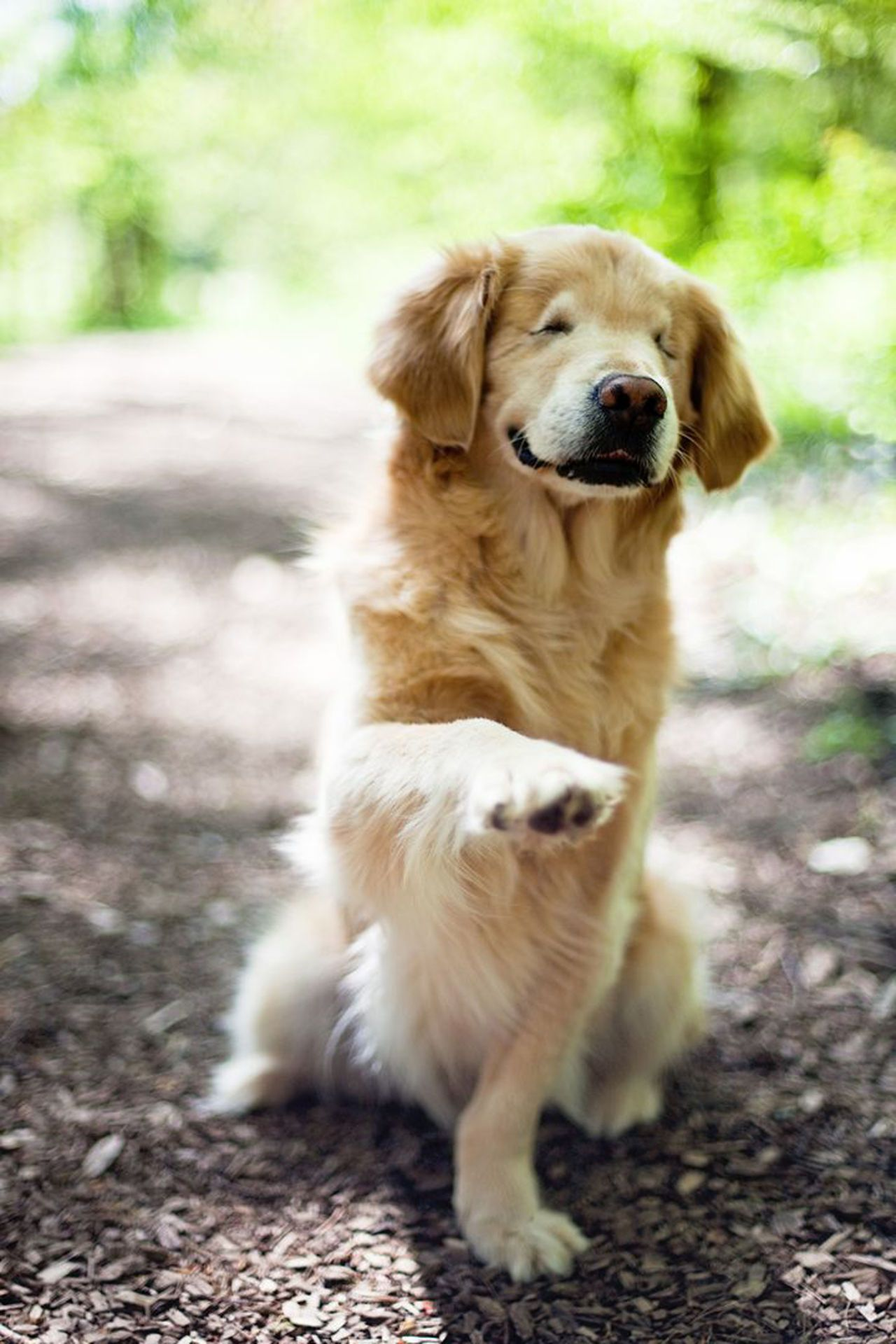 Meet Our Latest Obsession Smiley The Golden Retriever Golden