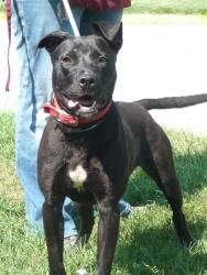 Flo Is An Adoptable Labrador Retriever Dog In Chicago Heights Il At The South Suburban Hu Dog Adoption Labrador Retriever Dog Labrador Retriever Mix