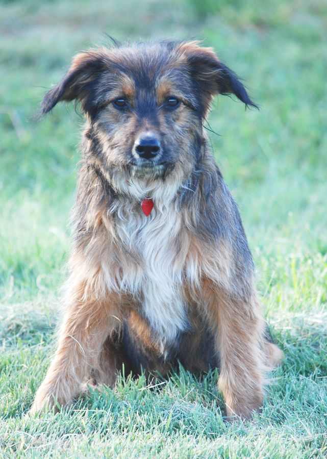 Crumpet is a young Australian Shepherd/Border Collie Mix