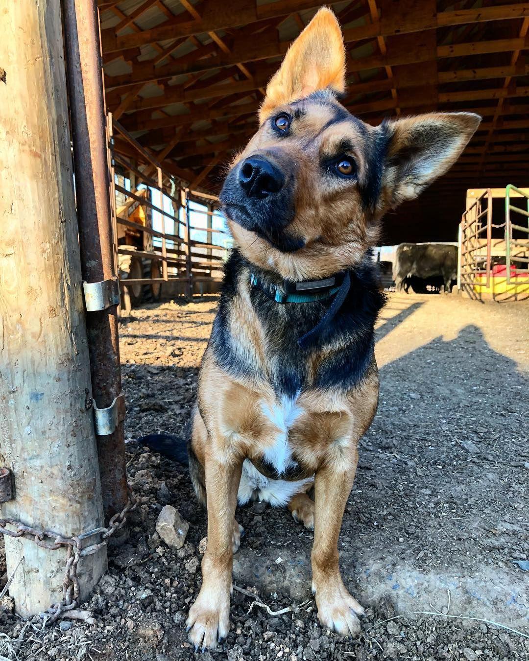 Texas Heeler Hybrid dogs, Shepherd mix dog, Puppies