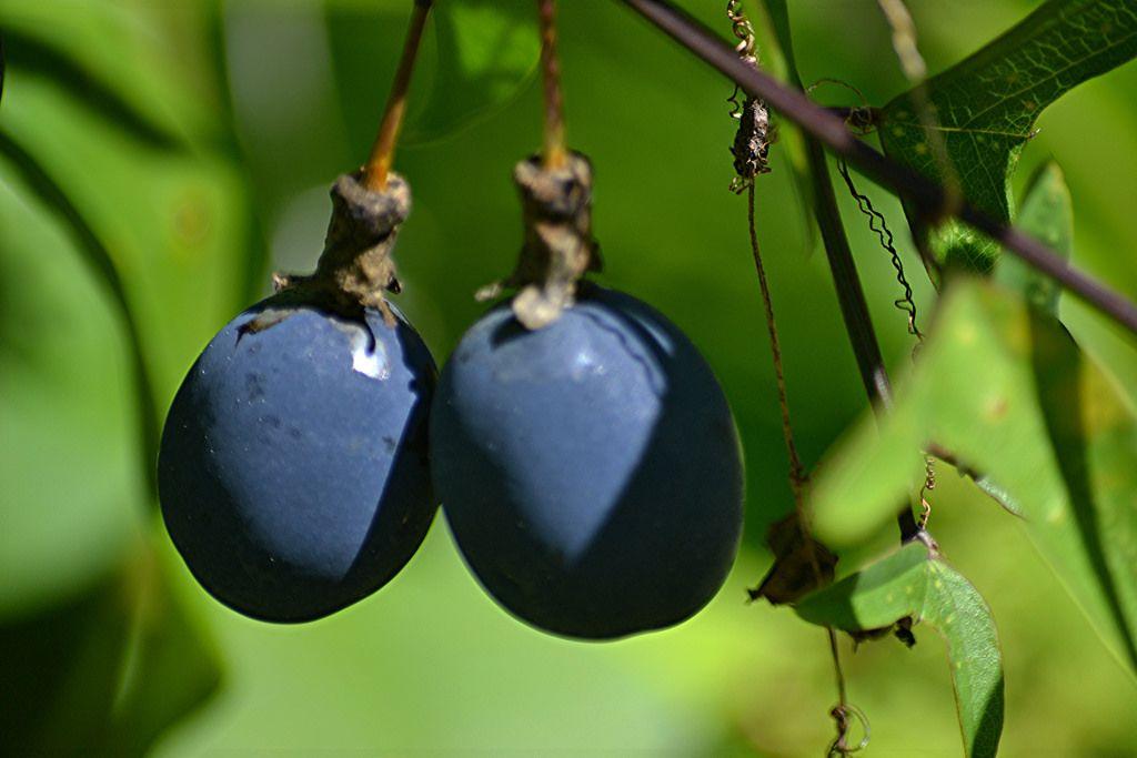 Image result for purple jungle fruit passiflora fruit