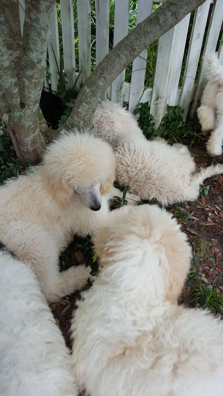 A Group Of Standard Poodle Puppies At Emerald Coast Breeders In