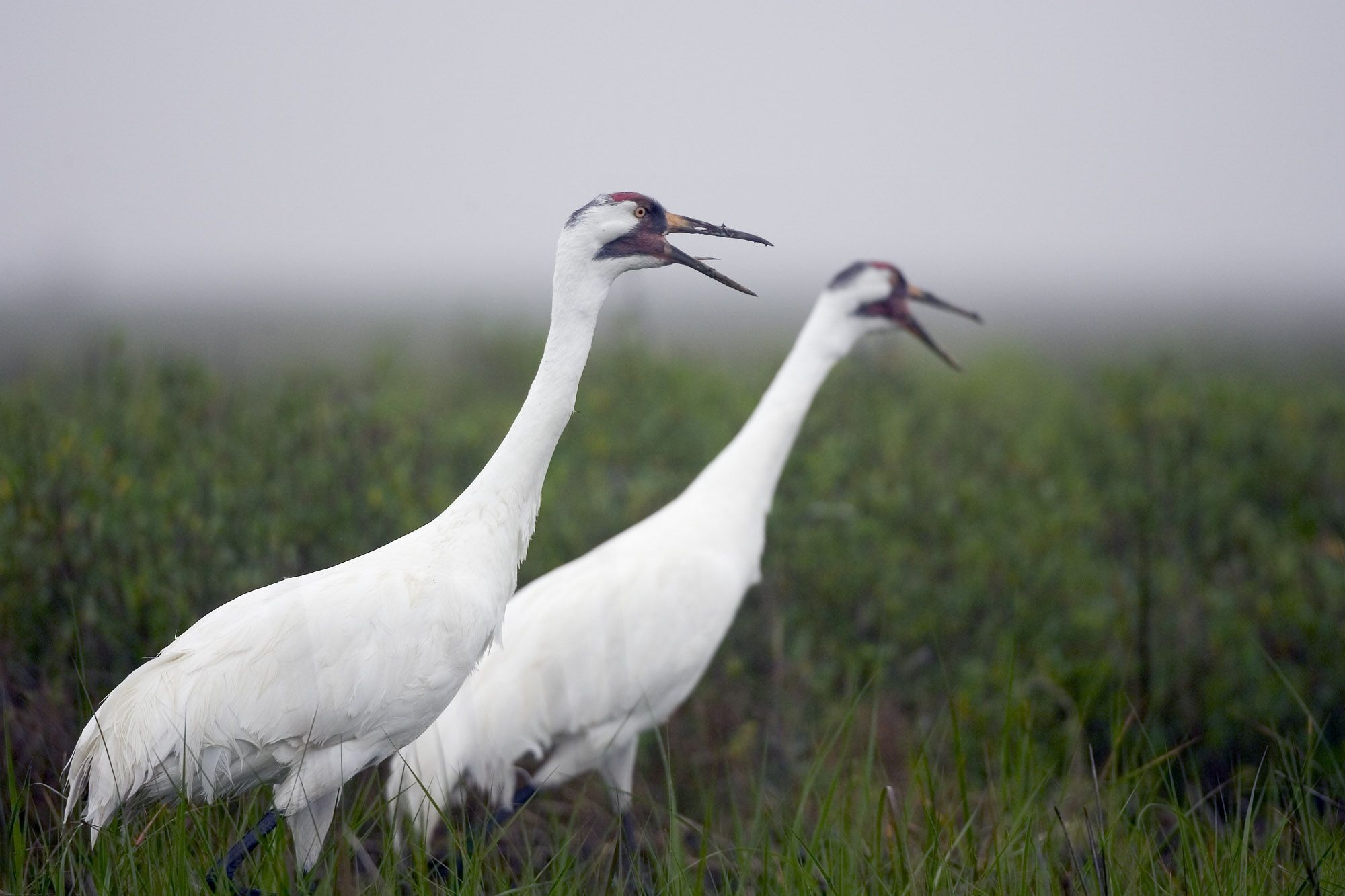Whooping Cranes are one of the rarest cranes in the world. Description from pinterest.com. I searched for this on bing.com/images