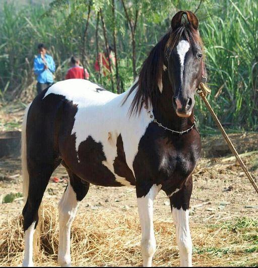 Love Black And White Paints Marwari Paint Horses Overos Heste
