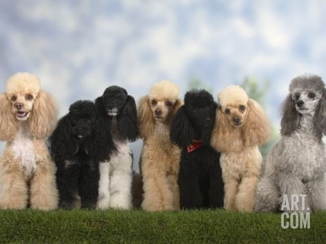 27 Dogs On Their Way To The Vet Goldendoodle Miniature Cute