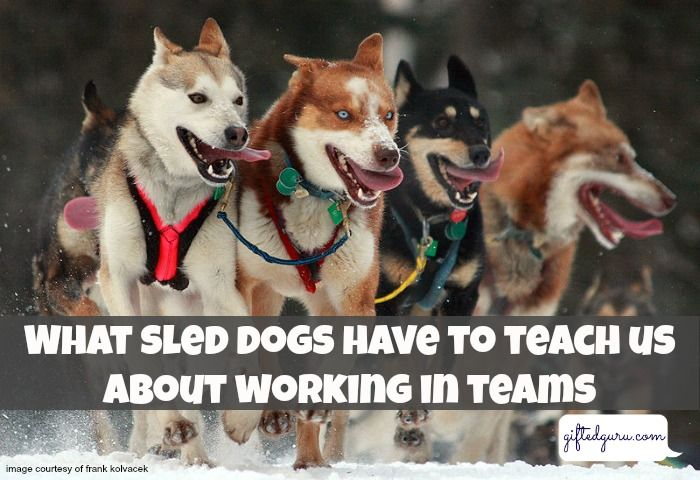 What Sled Dogs Can Teach Us About Working In Teams Man Dog