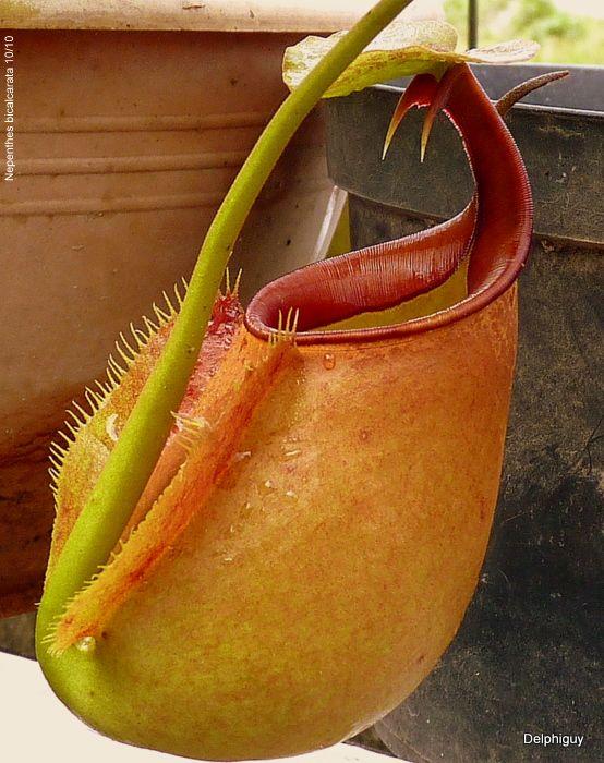fanged pitcher plant nepenthes bicalcarata fleischfressende pflanzen pinterest. Black Bedroom Furniture Sets. Home Design Ideas