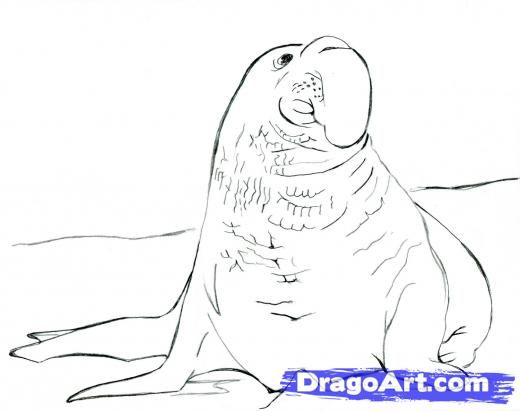 Step 10 How To Draw An Elephant Seal Draw A Realistic Elephant