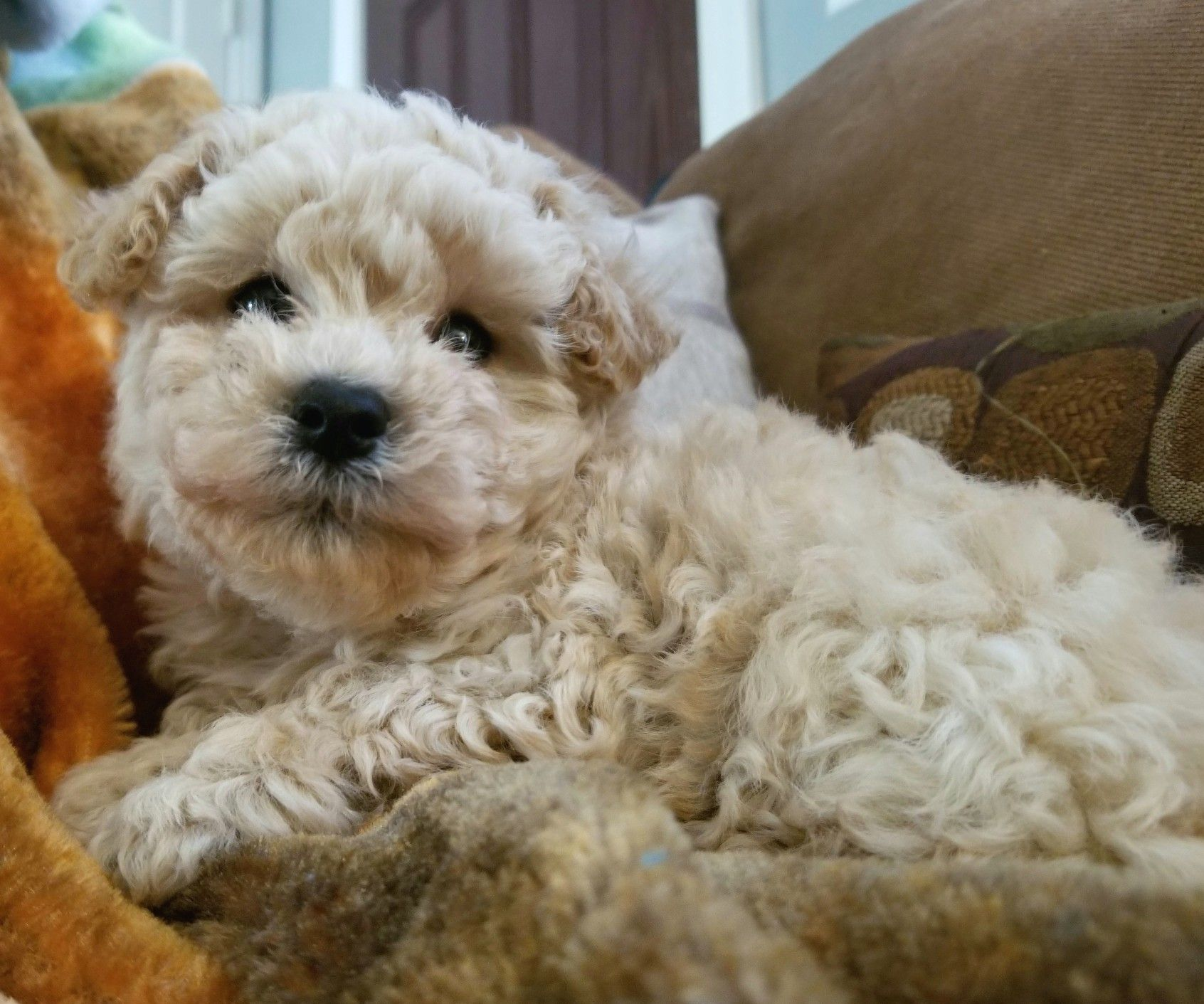 Maltipoo Puppy 2018 Johnsonsjewels Webs Com Maltipoo Puppies In Va