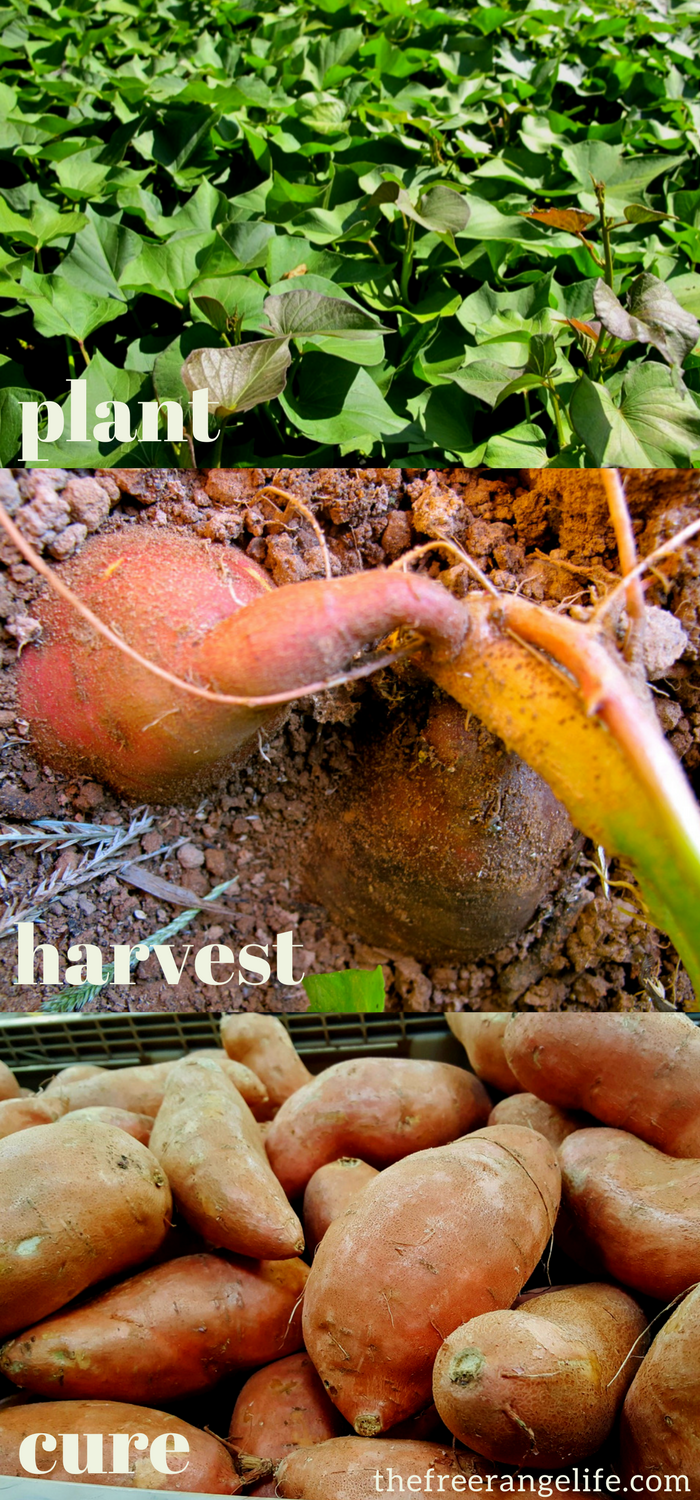 How to Grow, Harvest and Store Sweet Potatoes | Gardening ...