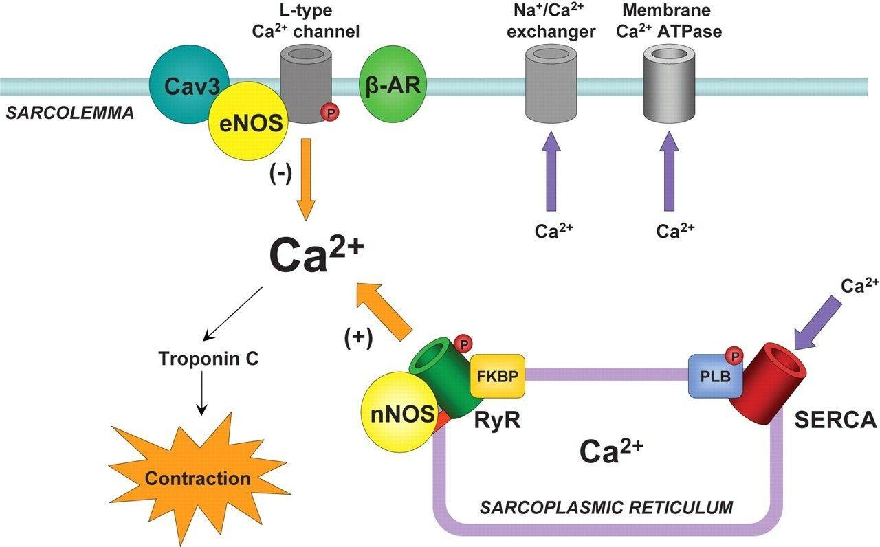 The Ryr2 Ryanodine Receptor Isoform Is The Major Cellular Mediator