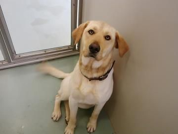 Adopt Bob, a lovely 2 years 1 month Dog available for adoption at Petango.