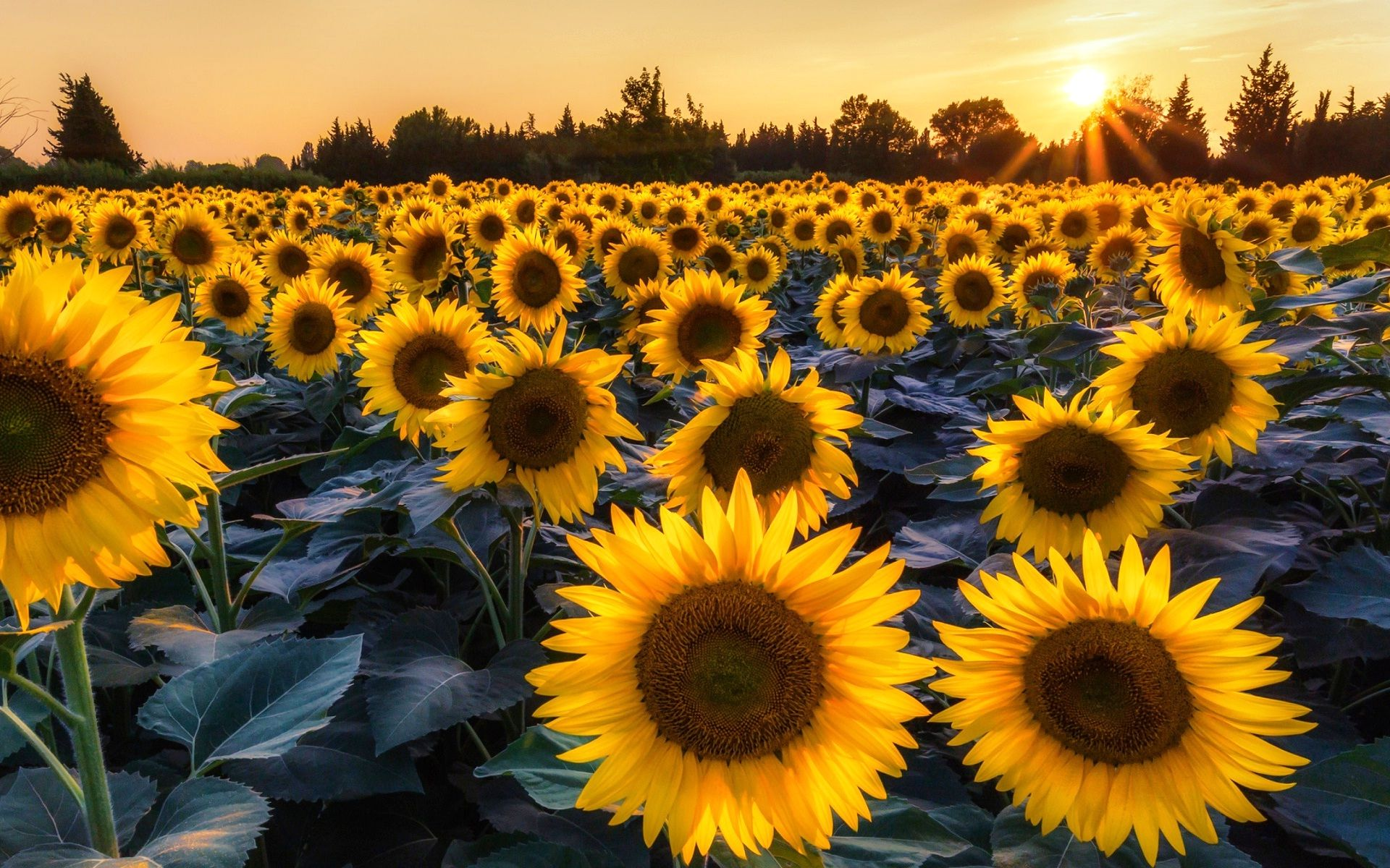 Sunflowers garden with sunshine New hd wallpaper